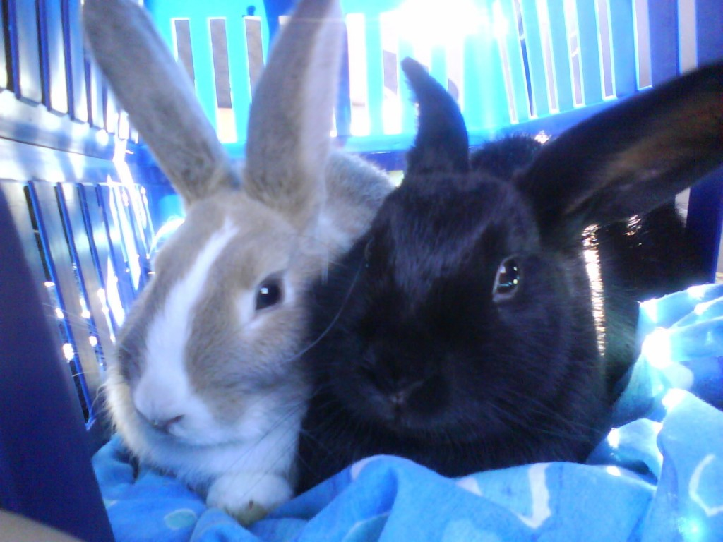 Pet rabbits at Crescent vets in tewkesbury