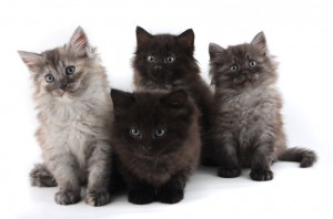 Vaccinating your kitten